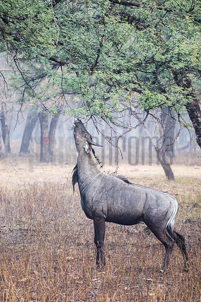 Nilgai (Boselaphus tragocamelus) Browsing from a Tree