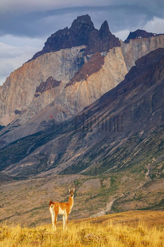 Guanaco Against the Cuernos del Paine