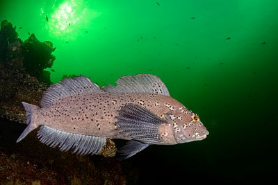 Male Kelp Greenling swimming in the so called Emerald Sea, of British Columbia.
