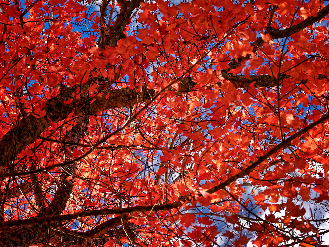 LS-18_Red Autumn