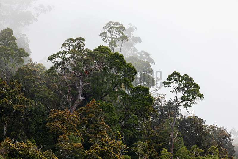 Tarkine Rainforest along the Pieman River at Dawn.
