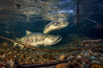Pair of Chum Salmon in river