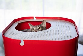 Grey Cat's Head and Eyes Peeking Up through top-entry Litterbox