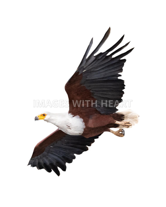 Soaring African Fish Eagle Isolated