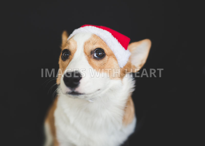 corgi potrait with santa hat