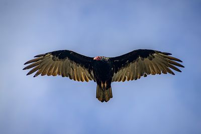 Soaring Turkey Vulture, Cathartes aura.