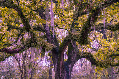 White Oak Trees Covered in Spanish Moss