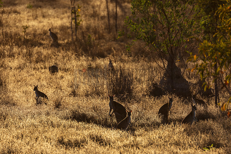 Agile Wallabies at Grazing at Sunset