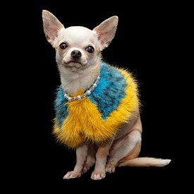 Festive Chihuahua dog wearing fur shawl