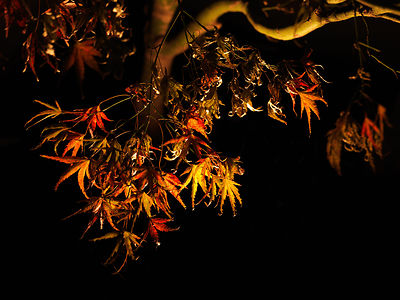 DH_Maple120909-0015