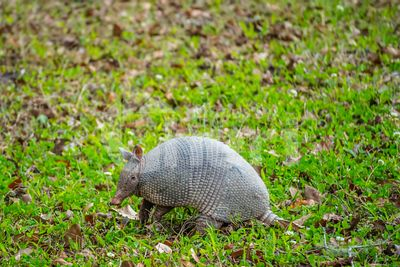 A small cute Armadillo in Abbeville, Louisiana