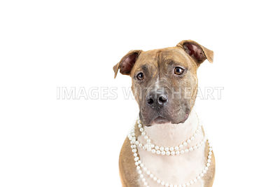 Pitbull wearing pearls close up on white background