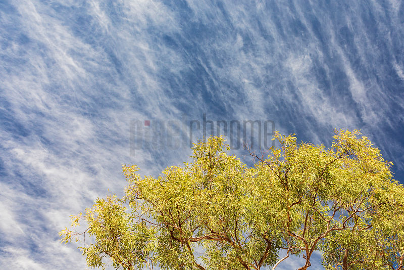 Ironwood Tree and Cirrus Clouds