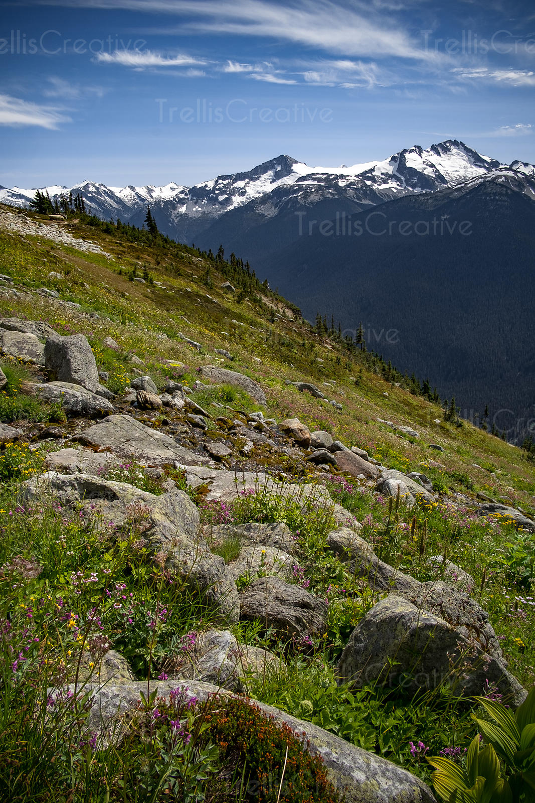 Colorful spring wildflowers growing among the rocky peak of a mountain, Whistler, Canada.