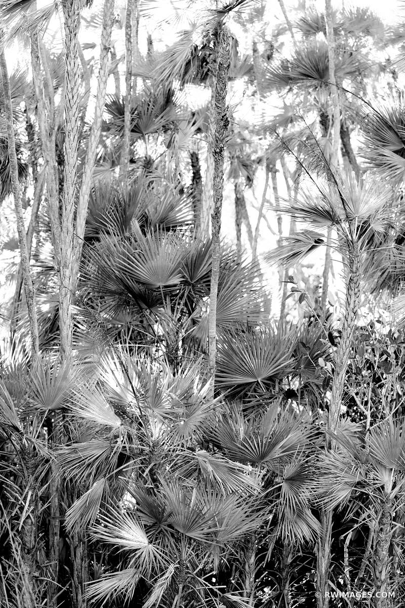 PAUROTIS PALM TREES MAHOGANY HAMMOCK TRAIL EVERGLADES FLORIDA BLACK AND WHITE VERTICAL