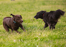 Two Dogs Running By Each Other in grassy Field