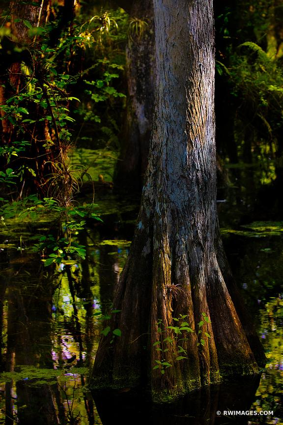 SWAMP CYPRESS TREE BIG CYPRESS NATIONAL PRESERVE EVERGLADES FLORIDA VERTICAL COLOR
