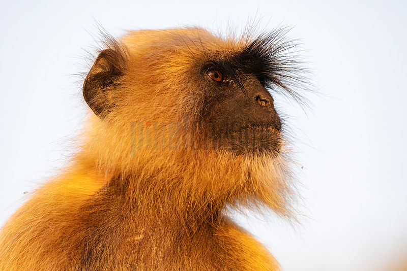 Portrait of a Commom Langur at Sunset