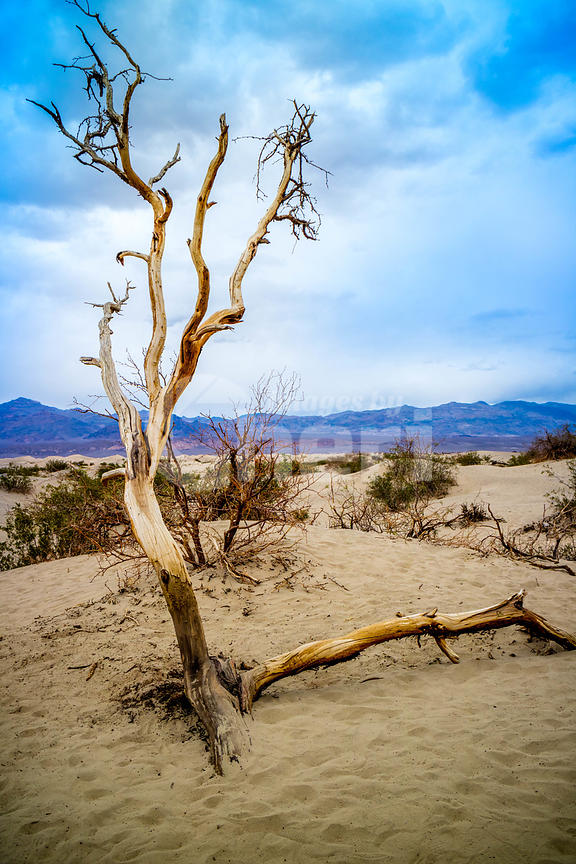 Dead tree in Death Valley National Park