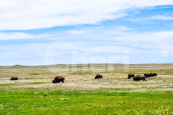 American Bison in the field of Badlands National Park, South Dakota