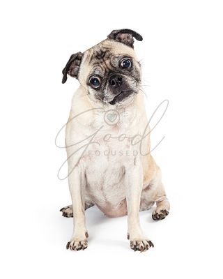 Purebred Pug Dog Sitting Facing Forward