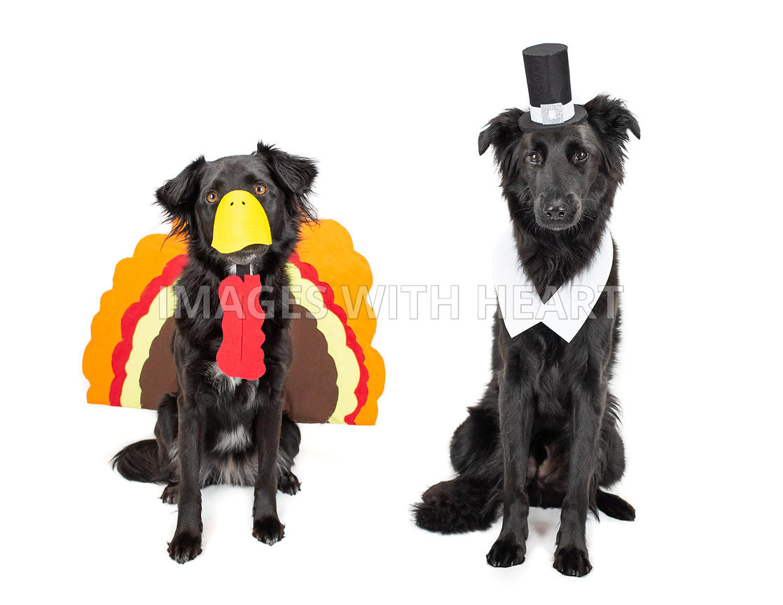 Black dogs dressed as turkey and pilgrim