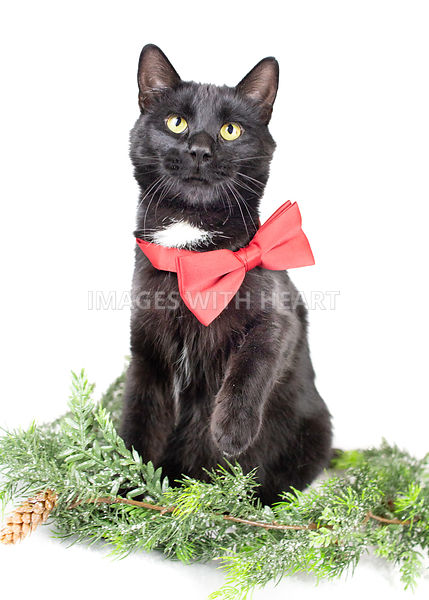 Black cat wearing bowtie