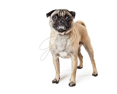 Fawn Pug Dog Standing on White