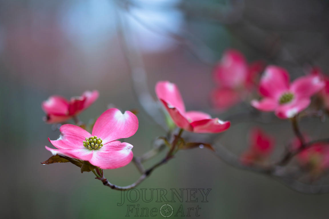 pinkdogwoodblossombranch