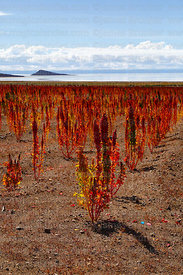 Royal Quinoa / Quinua Real (Chenopodium quinoa) growing near Salar de Uyuni, Bolivia