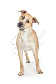 Yellow Labrador Retriever Crossbreed Dog Tilting Head