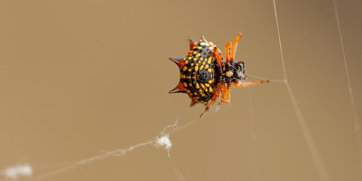 This six-spined spider was making a web. It is also called a Jewel Spider.