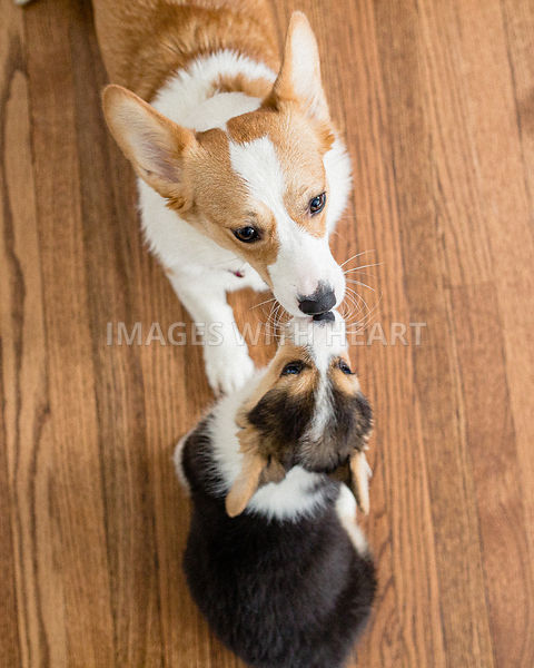 adult and puppy corgis kissing
