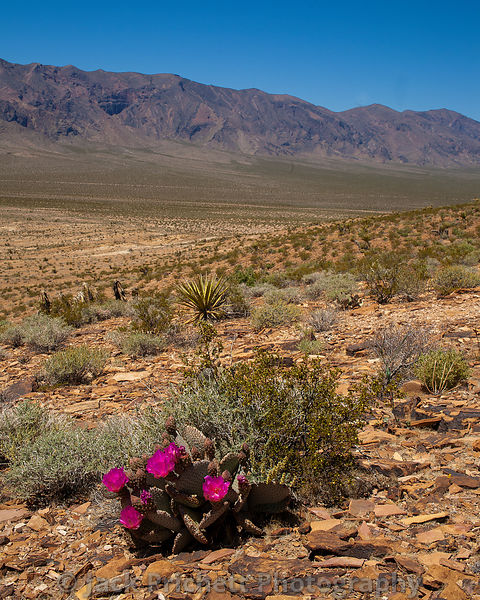 Opuntia Beavertail cactus in bloom in Mojave desert landscape