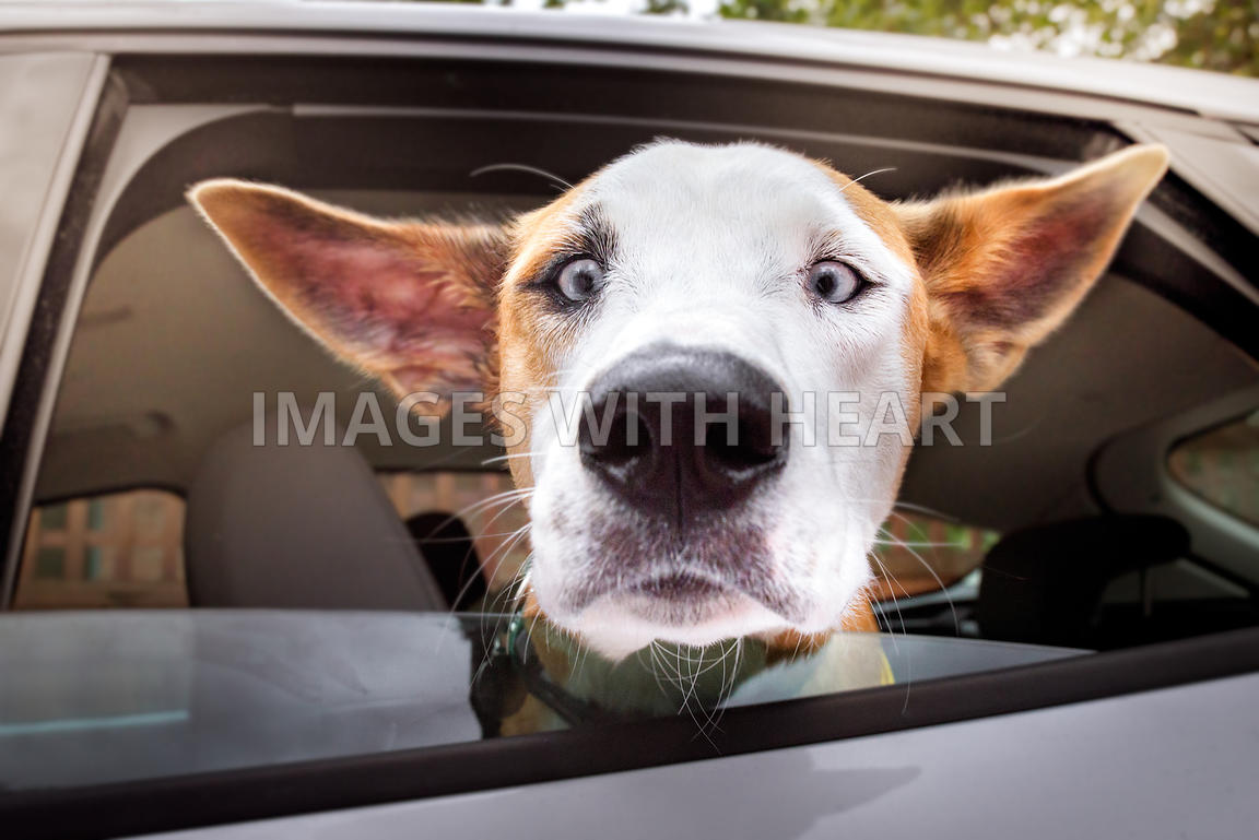 Dog with Helicopter Ears Crosseyed Goofball Car Window