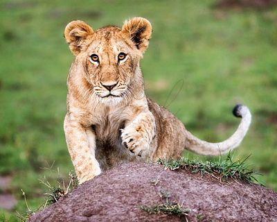Cute Curious African Lion Cub