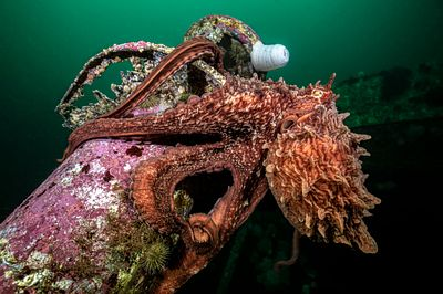 Giant Pacific Octopus, Enteroctopus dofleini, on the wreck of the HMCS Columbia near Campbell RIver.