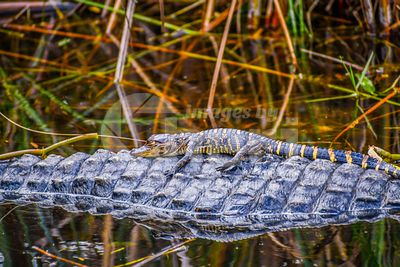 A large American Alligator with its offspring in Miami, Florida