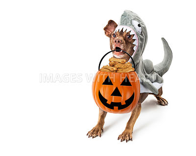 Dog in Shark Halloween Costume Trick-or-Treat