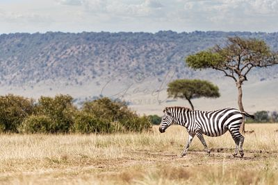 Zebra Walking Through Kenya Adfrica Field Alone