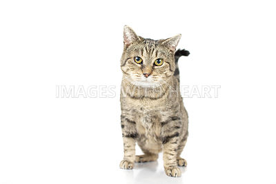 Tabby cat standing isolated on white