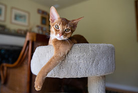 Abyssinian Kitten with Paw Hanging off Cat Tree