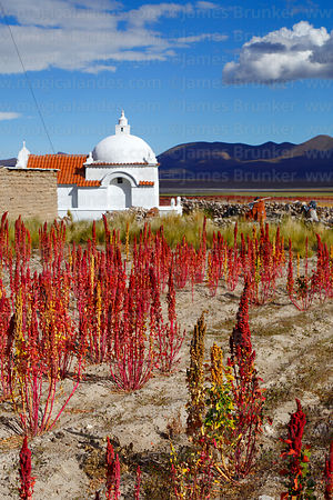 Field of Royal Quinoa / Quinua Real (Chenopodium quinoa) and church in Sivingani, Oruro Department, Bolivia