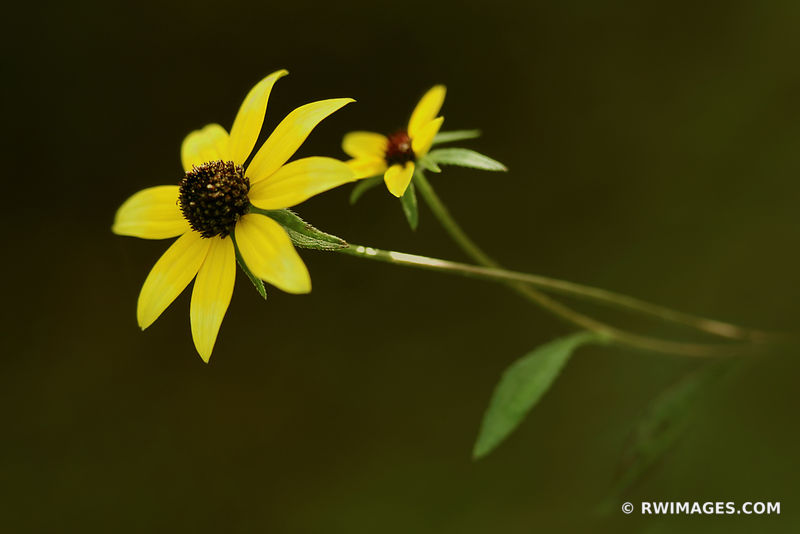 BROWNED-EYED SUSAN ILLINOIS PRAIRIE WILDFLOWER SUMMER