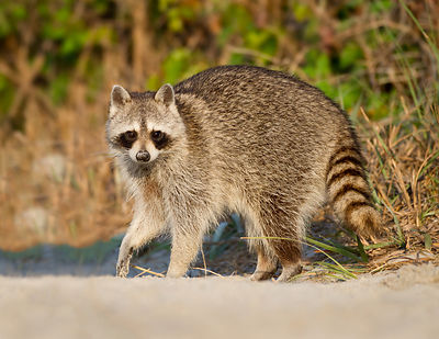 Beach Raccoon