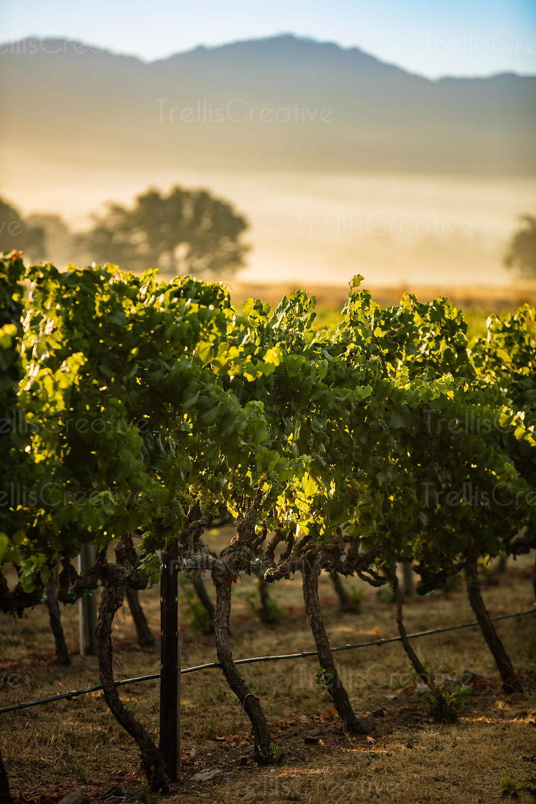 Grape vines in the early morning, Napa Valley, California, USA.