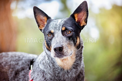 Australian Shepherd / Blue Heeler Closeup Outdoors