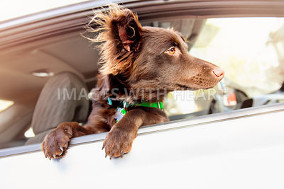 Cute Brown Puppy in Car Window with Fluffy Ears