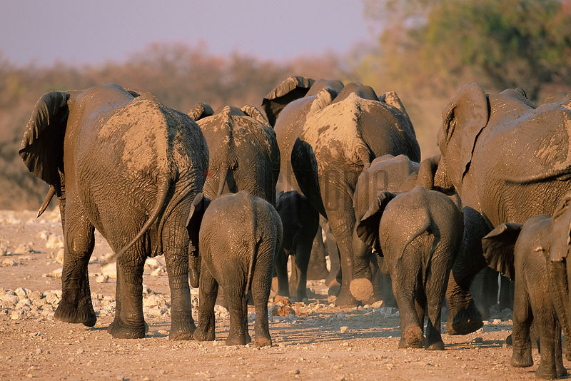 Herd of Elephants Leaving a Waterhole