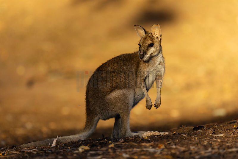 Portrait of a Wallaby at Sunset